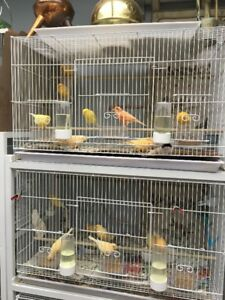young  CANARIES  in a variety of colours