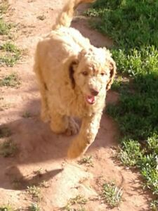 GOLDEN DOODLE PUPPIES ready to go to their forever homes!!!