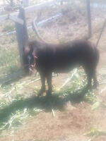 Blaze the Black Miniature Horse