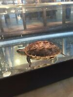 Chinese Golden Thread Turtle with tank