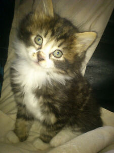 Maine Coon Snow Bengal Mix Kittens