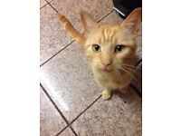Neutered male ginger cat to good home only