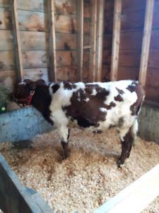 Purebred Ayrshire Heifer