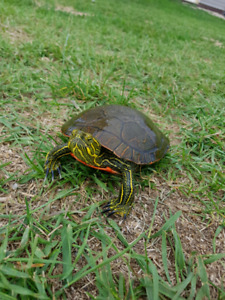 RARE Western Painted Turtle for sale