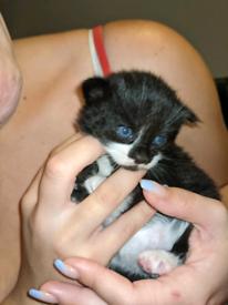 3 blue eyed kittens