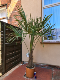 Palm Tree,Cordyline,Sago Palm,Olive tree,Trachycarpus Fortunei,Fruit