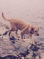 Yellow lab ,22 months male