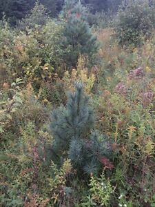 "Mixed coniferous trees From 6"" to 60' Kawartha Lakes Peterborough Area image 4"