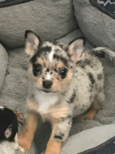 Blue Teacup Chihuahua Puppies For Sale Near Me