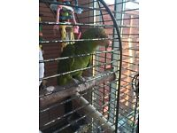 Amazon parrot for sale