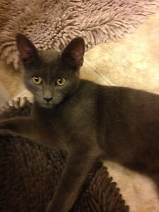 Oliver - Lost Male Cat - Grey Shorthair