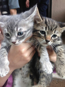 Grey,tabby and black kittens