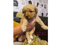 Jackapoo Fb1 Miniature Poodle pups for sale