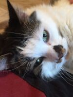 Handsome 6-year-old male cat - good home needed ASAP!