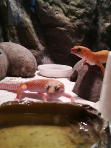 Gecko et terrarium