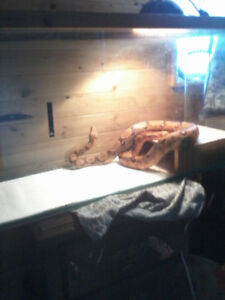 Red tailed salmon boa for sale
