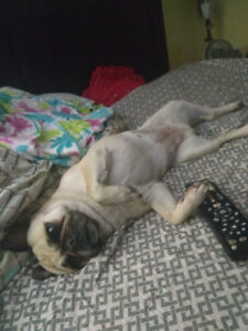 **REWARD**LOST PUG-BELLA