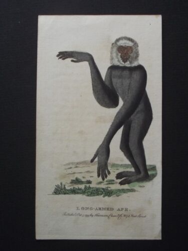 LONG ARMED APE - HARRISON CLUSE 1799 HAND COLORED COPPER PLATE ENGRAVING