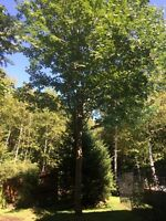 Beautiful Maple Tree for Sale ( Riverview )
