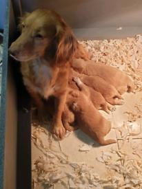 Kc registered cocker spaniel pups