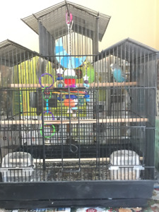 2 Lovely Budgies  for Sale + Cage, Toys & Whole Ensemble