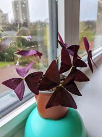 Oxalis triangularis plants
