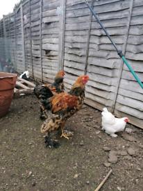 Brahma Chickens - Male Rooster & Female Hen