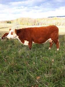 Polled Hereford Cows