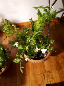Aroma thearapy at home Bloomed Jasmine plant
