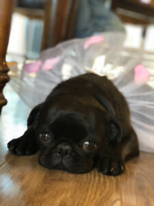 French Pug puppies * 2 left!