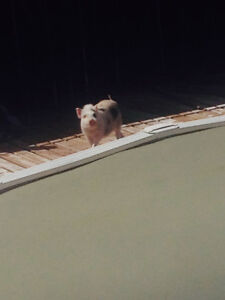 Willie the mini pig!