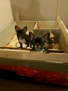 Three gorgeous French bulldogs ready for new homes