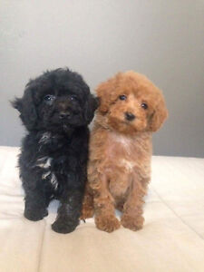Mini Toy Poodle Pups! Red & Black