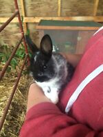 Netherland Dwarf Baby Bunnies!