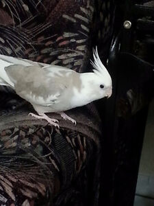 LOST Gray/White Cockatiel in Vanier