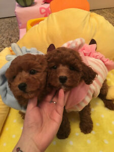 super cute! red toy poodle puppies!