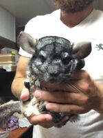 Make chinchilla looking for new home