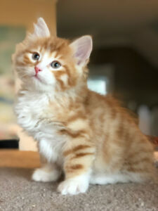 Purebred Siberian Kittens for Sale-hypoallergenic breed