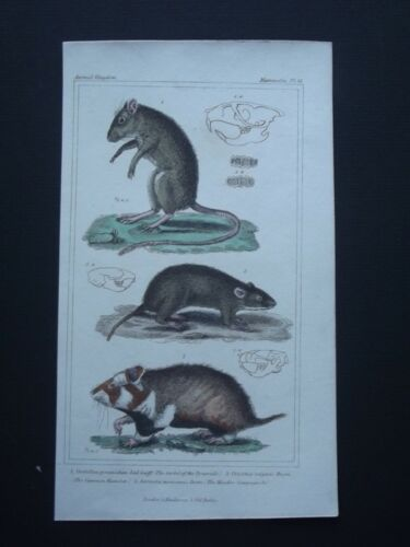 GERBIL, HAMSTER & CAMPAGNOLE ORIGINAL 1837 HAND COLORED COPPER PLATE ENGRAVING