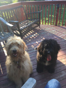 In search of a volunteer to walk/ play with my dogs !