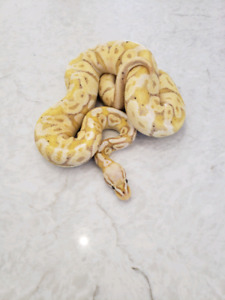 proven breeder Male ball pythons