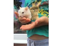 White female Syrian hamster