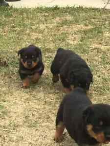 Absolutely Adorable Rottweiler Puppies