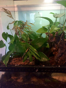 Male Crested Gecko with fully planted terrarium Gatineau Ottawa / Gatineau Area image 5