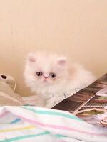 Purebred milk white Persian kitten for THANKSGIVING DAY
