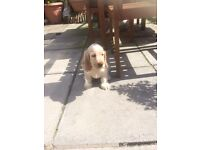KC REGISTERED PEDIGREE COCKER SPANIEL PUP FOR SALE