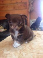 Cute and Cuddly Chihuahua puppies!