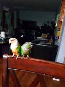 Conure pineapple and green cheek parrot for sale