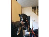 Huskamute puppies for sale