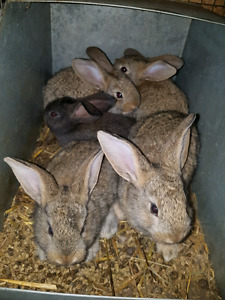 Lapins a vendres 10$ chacun